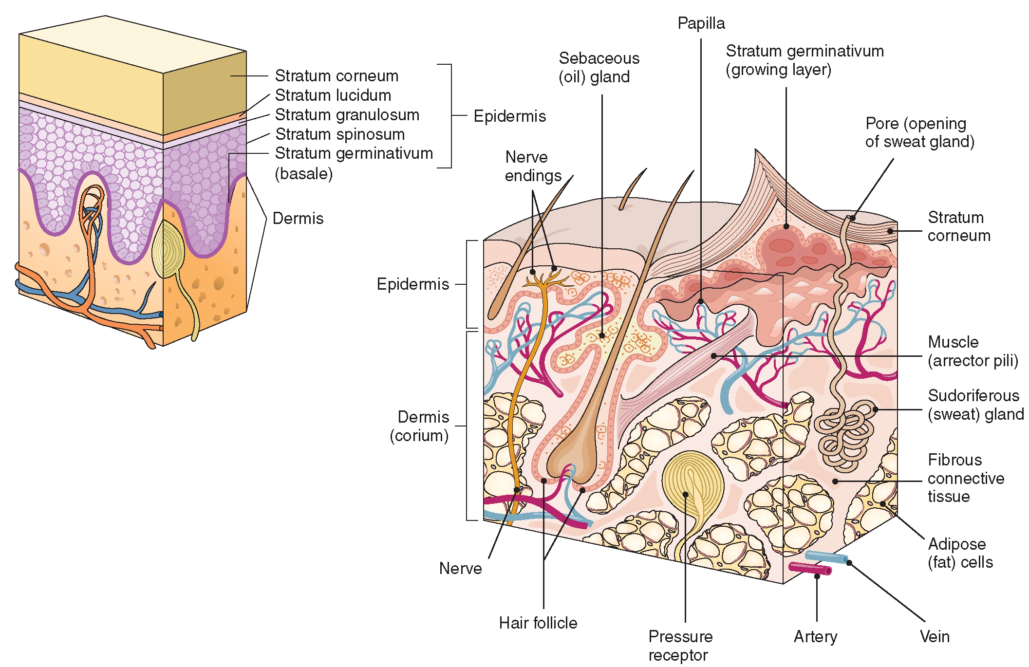 Integumentary System Facts Images - Frompo